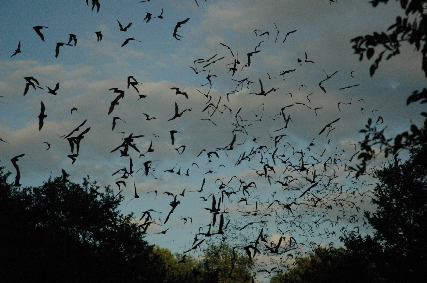 Waugh Bat Bridge Colony :: Houston :: TX :: Photo Courtesy of Houston Museum of Natural Science